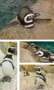 Penguins from Shedd Aquarium